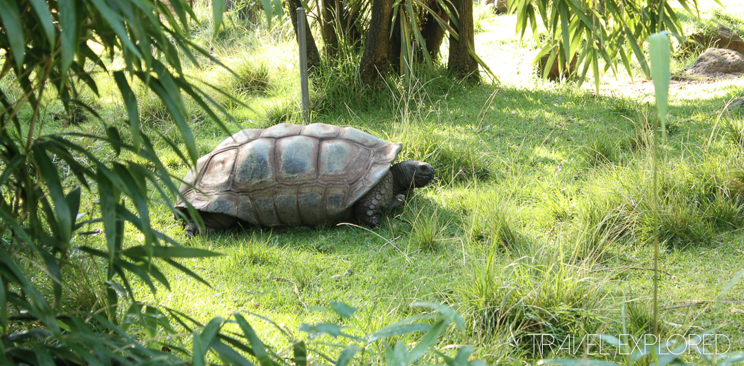 Melbourne Zoo - Aldabra Giant Tortoise