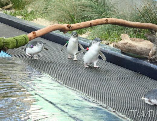 Melbourne Zoo - Penguins