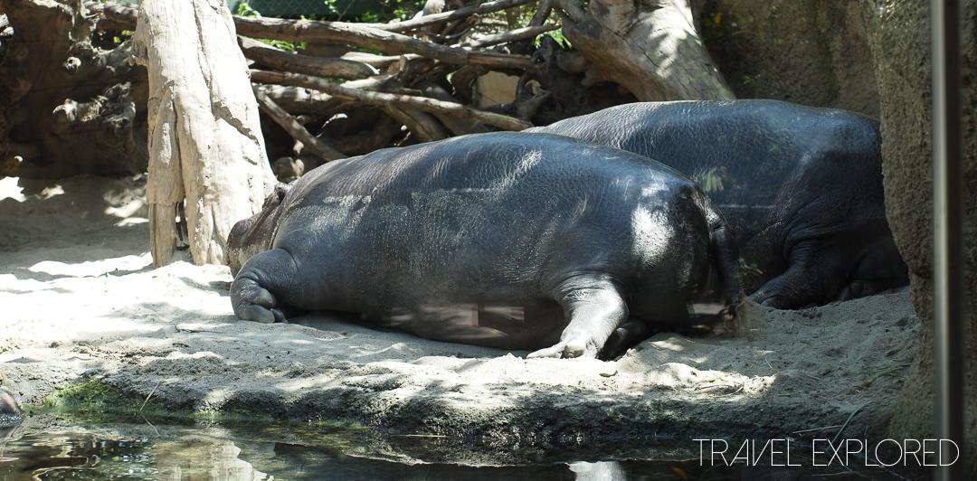 San Diego Zoo - Hippopotamus