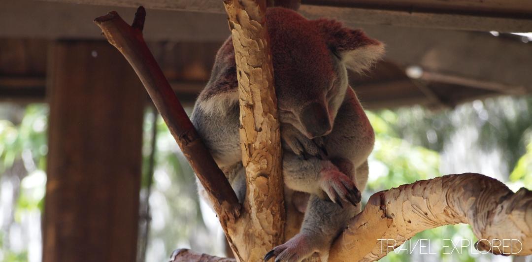 San Diego Zoo - Koala