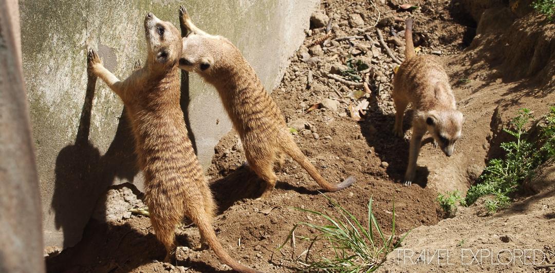 San Diego Zoo - Meerkat