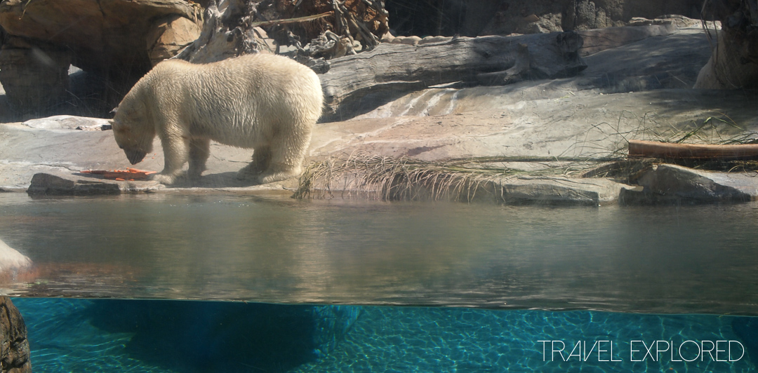 San Diego Zoo - Polar Bear