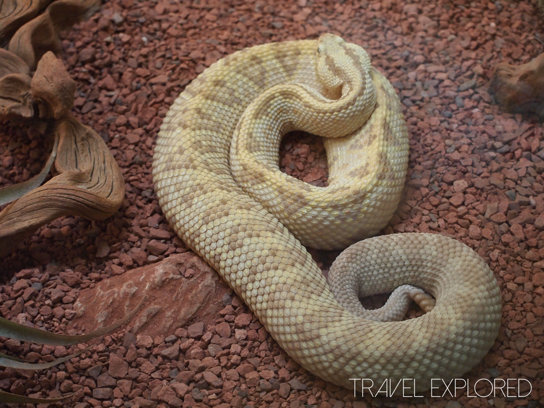 San Diego Zoo - Rattle Snake