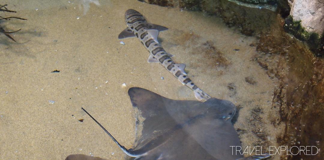 San Francisco - Aquarium Baby Sharks and Rays
