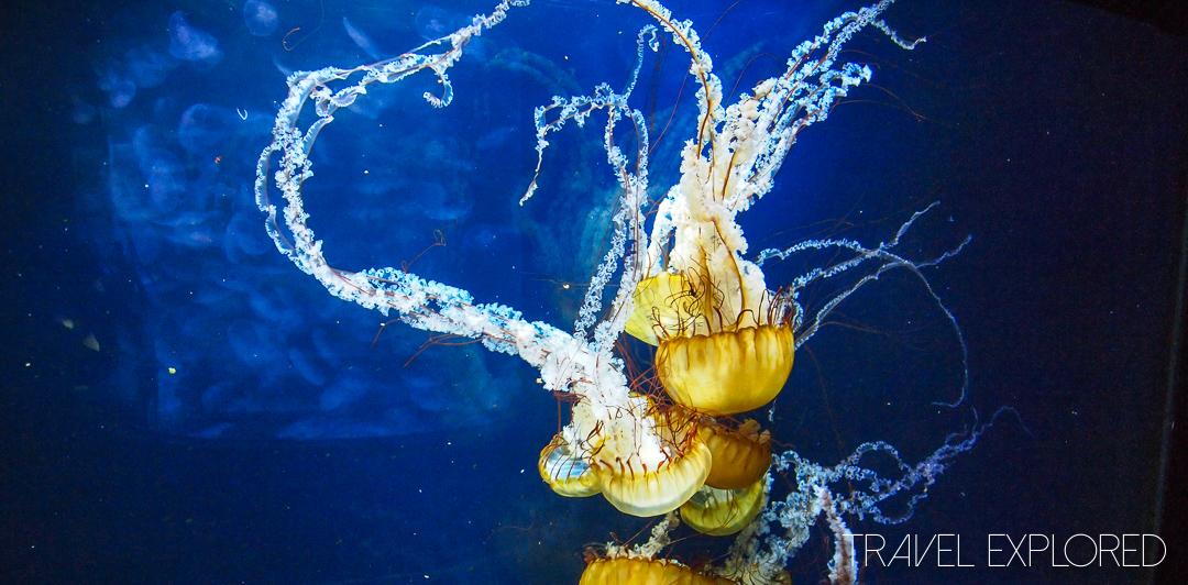 San Francisco - Aquarium Brown Sea Nettle Jellyfish