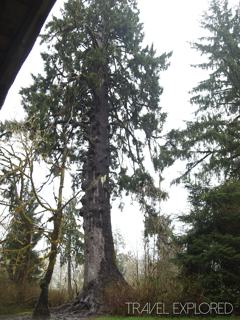 Seattle - Sitka Spruce Largest of it's variety in the world