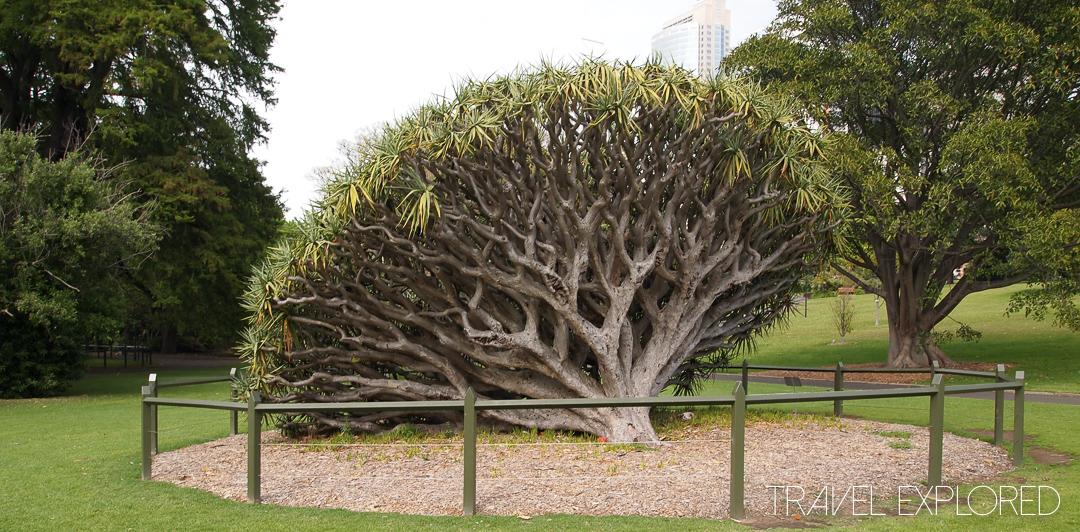 Sydney - Botanical Gardens tree growing sideways