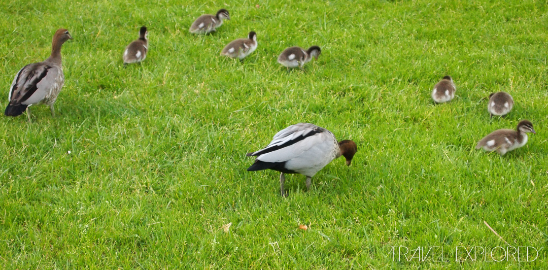 Melbourne - Ducks and ducklings in fitzroy Gardens