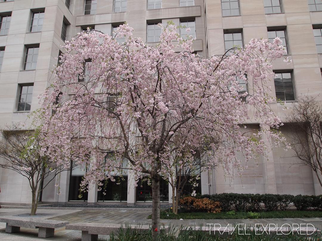 Washington - Cherry Blossom Tree