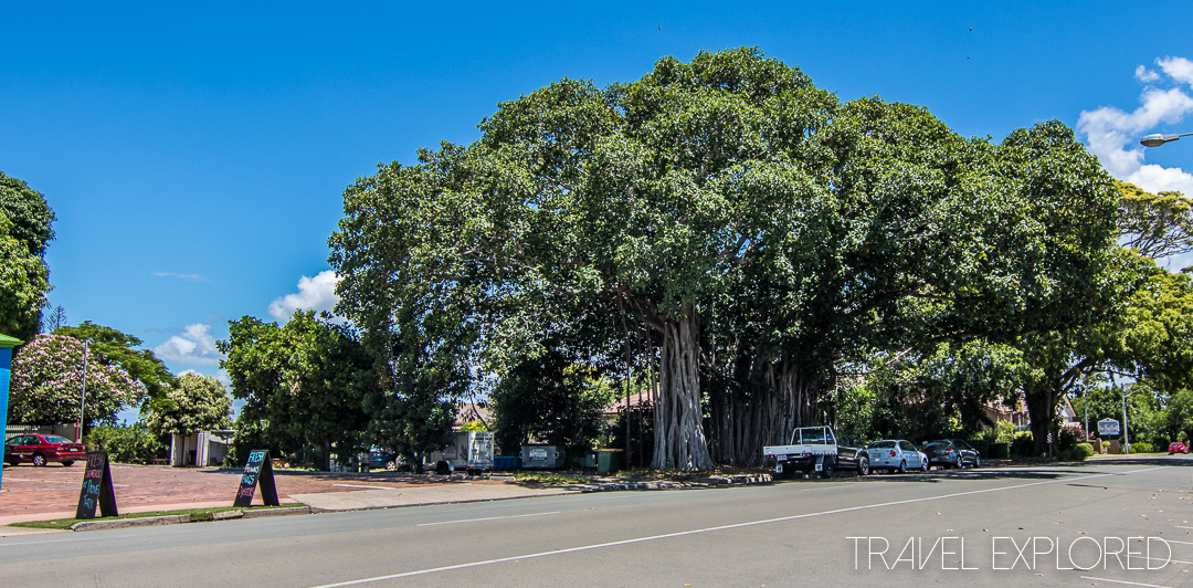 Cleveland Point - Banyan Fig Tree
